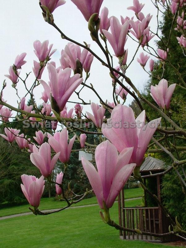 magnolia george henry kern do ma ych ogrod w. Black Bedroom Furniture Sets. Home Design Ideas