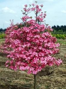 Drzewa Ozdobne Największy Wybór Drzewek Kwitnących I O