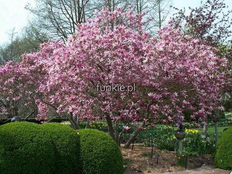 magnolia george henry kern c4 magnolia do ma ych ogrod w. Black Bedroom Furniture Sets. Home Design Ideas