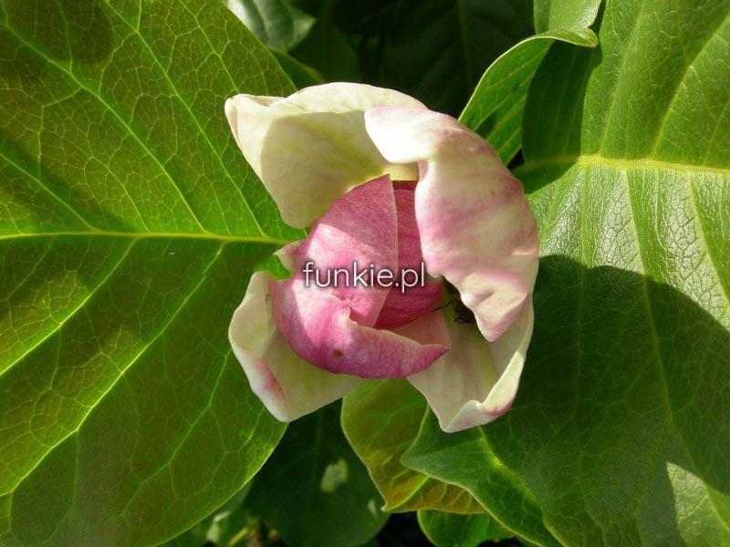 magnolia satisfaction rewelacyjna c5 drzewko cena 70z. Black Bedroom Furniture Sets. Home Design Ideas