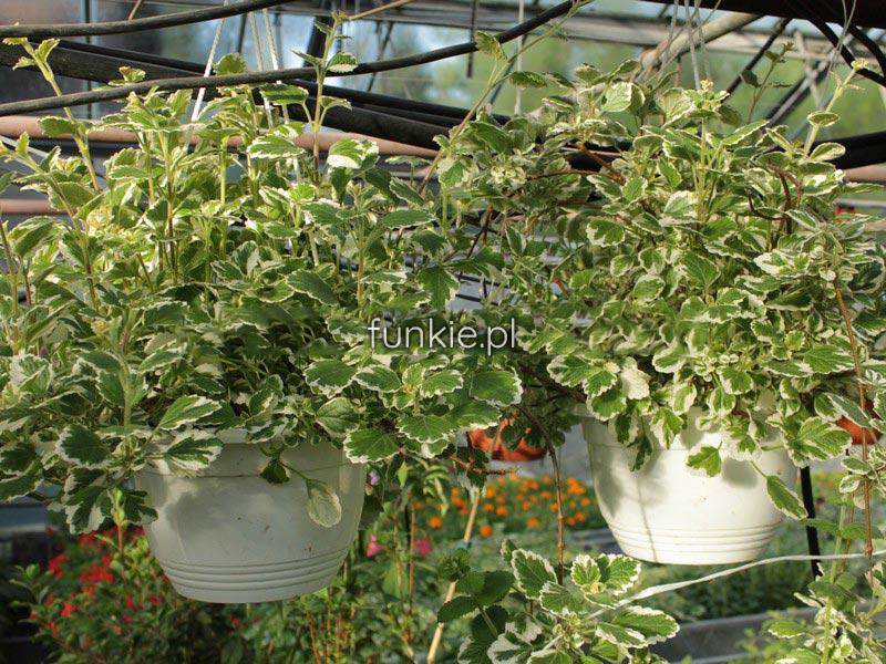 Komarzyca (Plectranthus coloides) zdjęcie 4