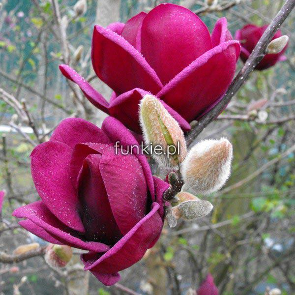 magnolia genie powtarza kwitnienie c5 drzewko cena 70z. Black Bedroom Furniture Sets. Home Design Ideas