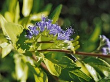 Barbula (Caryopteris) Worcester Gold 3