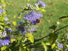 Barbula (Caryopteris) Worcester Gold 7