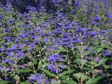 Barbula (Caryopteris) Heavenly Blue 1