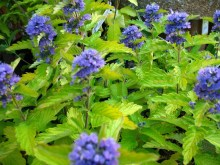 Barbula Caryopteris Hint of Gold 1