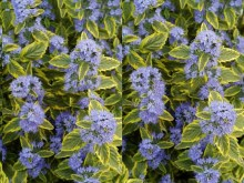 Barbula (Caryopteris) Summer Sorbet 1