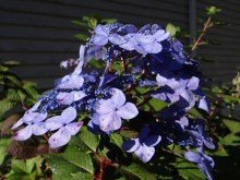 Hortensja ogrodowa (Hydrangea macrophylla) Twist and Shout 5