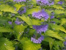 Barbula Caryopteris Hint of Gold 2