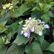 Hortensja ogrodowa (Hydrangea macrophylla) Twist and Shout 6