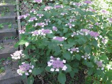 Hortensja ogrodowa (Hydrangea macrophylla) Twist and Shout 7