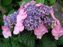 Hortensja ogrodowa (Hydrangea macrophylla) Twist and Shout 1