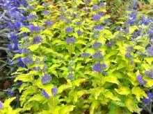 Barbula Caryopteris Hint of Gold 5