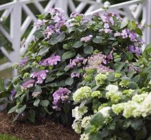 Hortensja ogrodowa (Hydrangea macrophylla) Twist and Shout 8