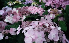 Hortensja ogrodowa (Hydrangea macrophylla) Twist and Shout 2