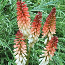 Trytoma (Kniphofia) Orange Vanilla Popsicle 1