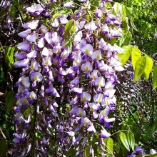 Glicynia (Wisteria) Royal Purple zdjęce 1